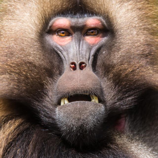 """""""Gelada baboon"""" stock image"""