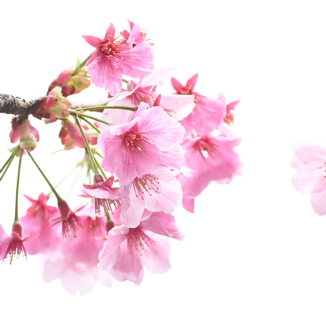 """Cherry Blossom 02"" stock image"