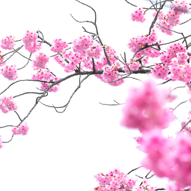 """Cherry Blossom 01"" stock image"