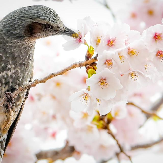 """Cherry Blossom 04"" stock image"