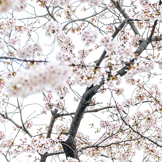 """Cherry Blossom 03"" stock image"