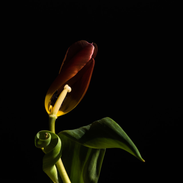 """A tulip's last day"" stock image"