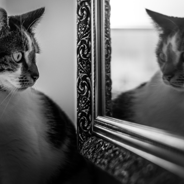 """Mirror Cat"" stock image"