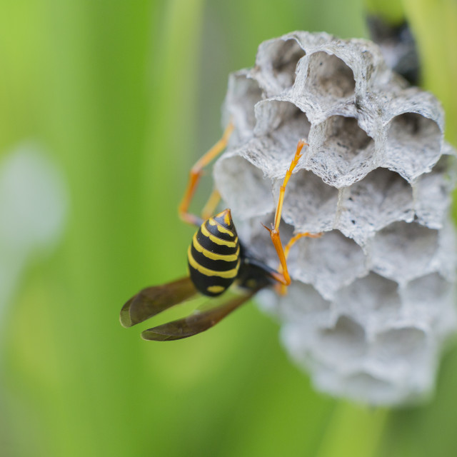 """Common wasp New Zealand"" stock image"