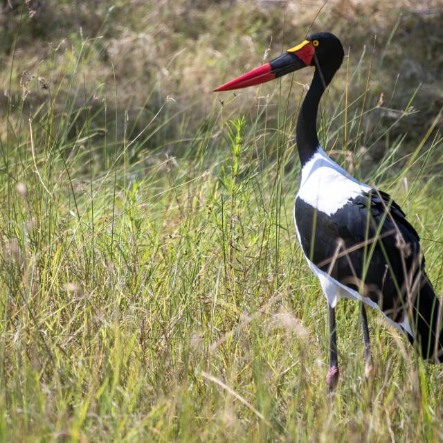 """Saddlebilled Stork"" stock image"