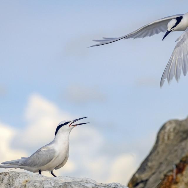 """Black Naped Terns 05"" stock image"
