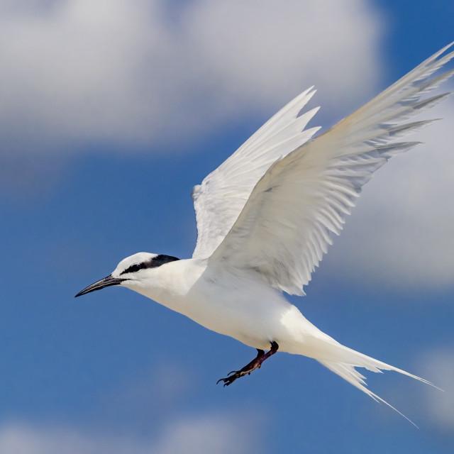 """Black Naped Tern 06"" stock image"