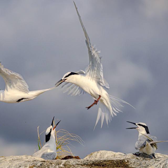 """Black Naped Terns 01"" stock image"