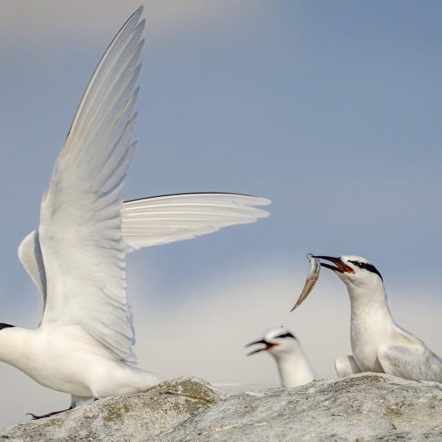 """Black Naped Terns 03"" stock image"