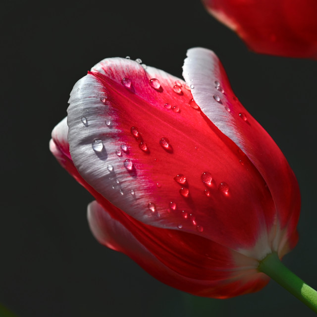 """Tulips 02"" stock image"