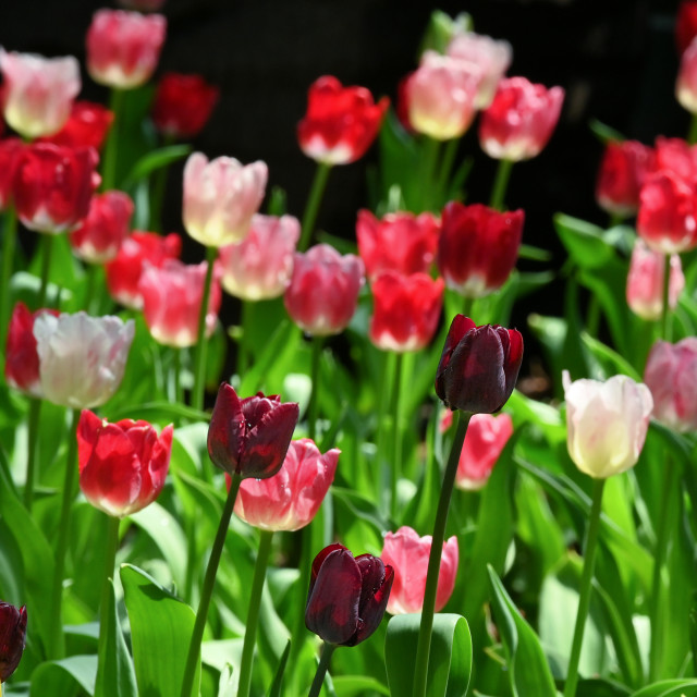 """Tulips 05"" stock image"