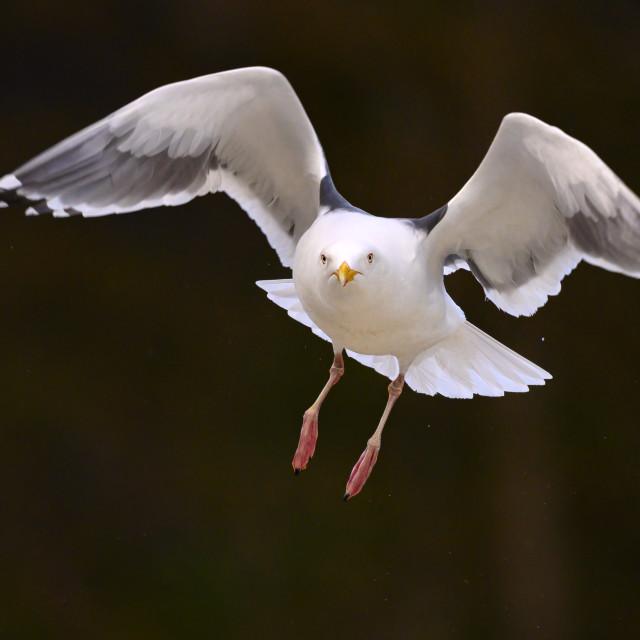 """Seagull in Flight"" stock image"