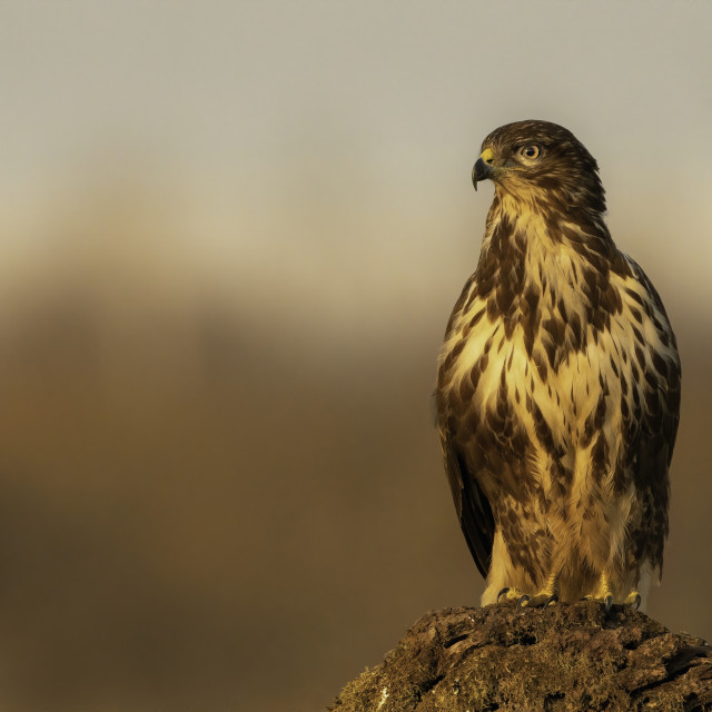 """Common buzzard (Buteo buteo)"" stock image"