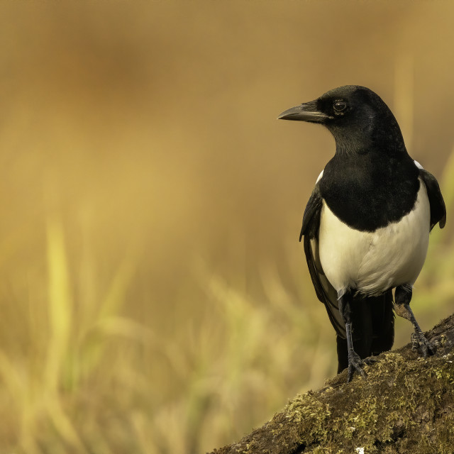 """Eurasian magpie (Pica pica)"" stock image"