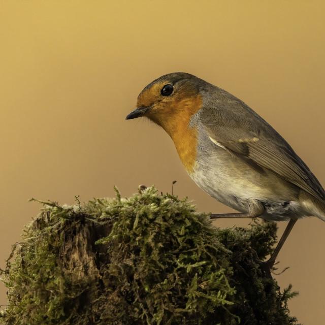 """Eurasian robin (Erithacus rubecula)"" stock image"