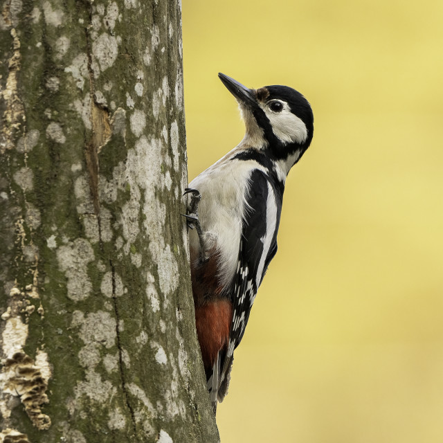 """Great spotted woodpecker (Dendrocopos major)"" stock image"