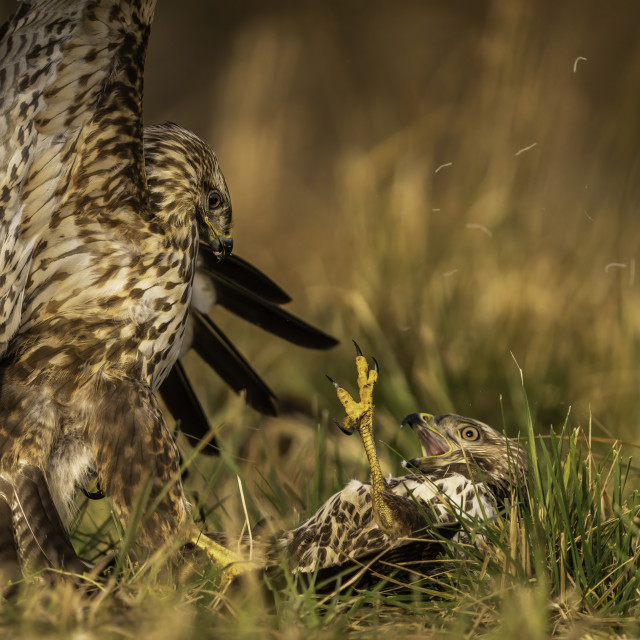 """Common buzzards fight (Buteo buteo)"" stock image"