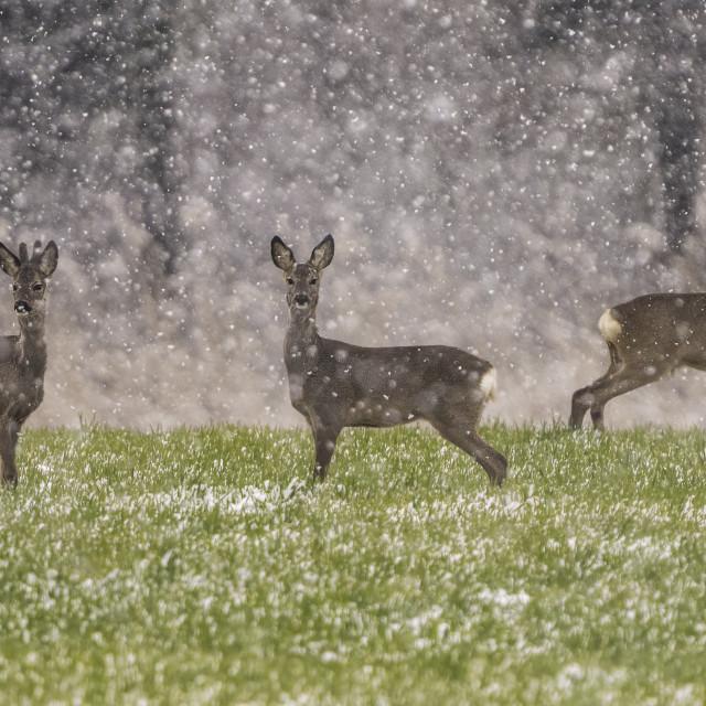 """Roe deer family ( Capreolus capreolus)"" stock image"