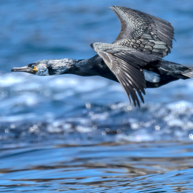 """Cormorant in Flight"" stock image"