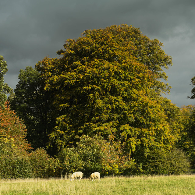 """""""Sheep grazing in the English countryside in a meadow"""" stock image"""