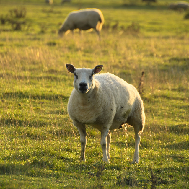 """""""Sheep in an English country meadow"""" stock image"""