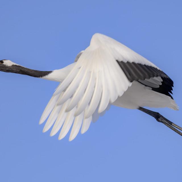 """Red-Crowed Crane in flight 02"" stock image"
