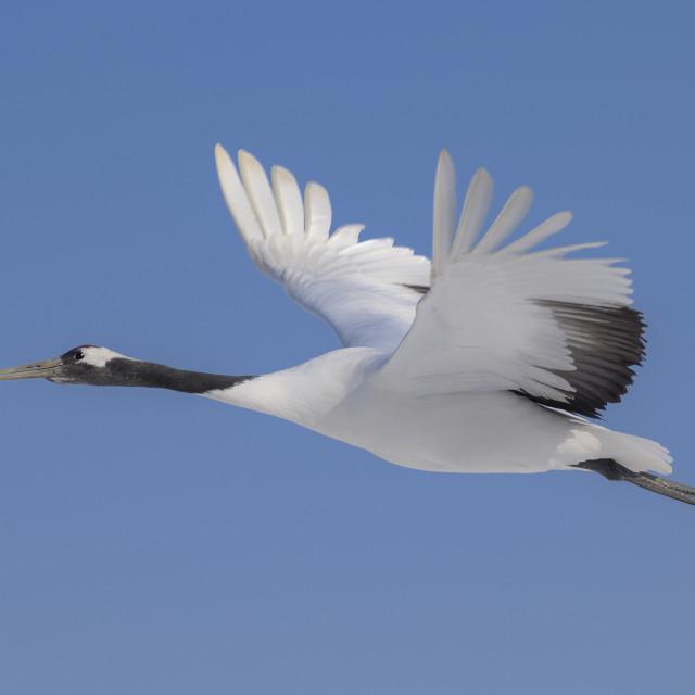 """Red-Crowed Crane in flight 03"" stock image"
