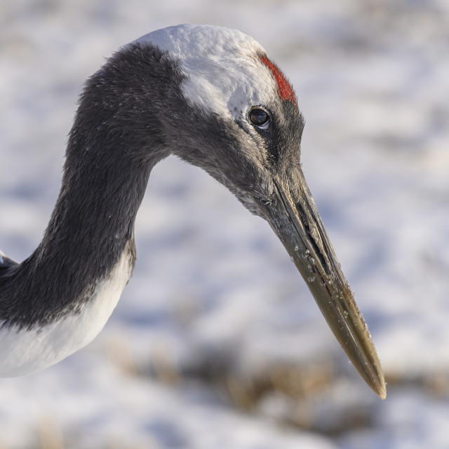 """""""Red-Crowned Crane Portrait 02"""" stock image"""