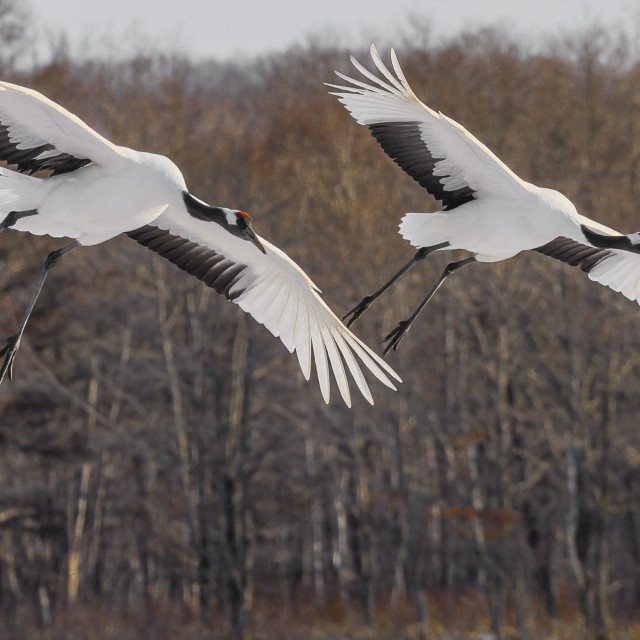 """Red-Crowed Cranes in flight 05"" stock image"