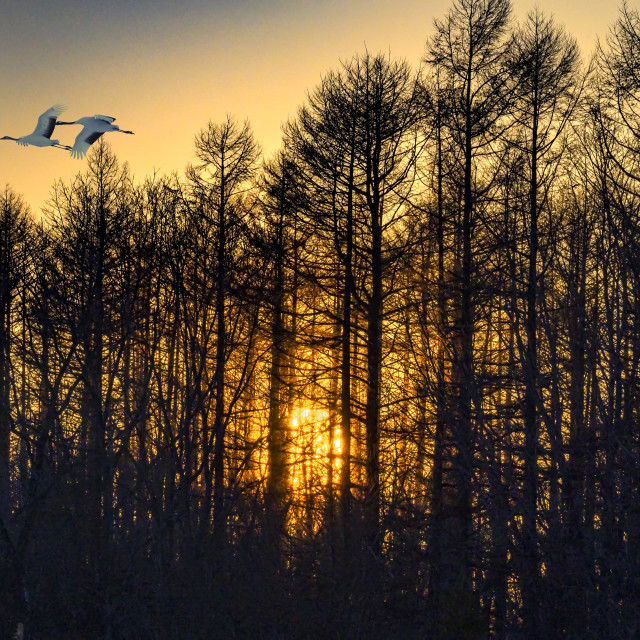 """""""Red-Crowned Cranes Sunset"""" stock image"""