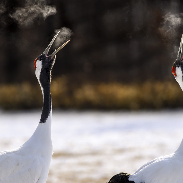 """""""Red-Crowned Cranes Calling"""" stock image"""