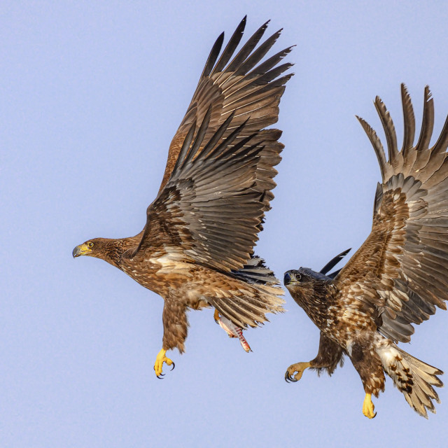"""Juvenile White-Tailed Sea Eagles 02"" stock image"