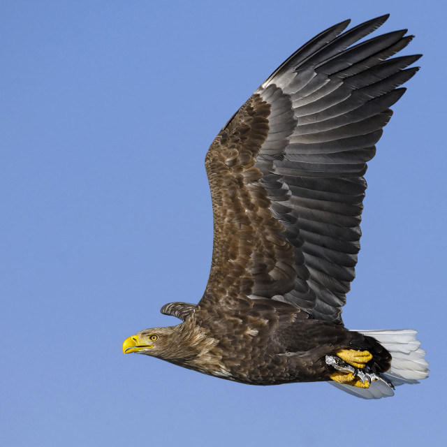 """""""White-Tailed Sea Eagle with catch 01"""" stock image"""