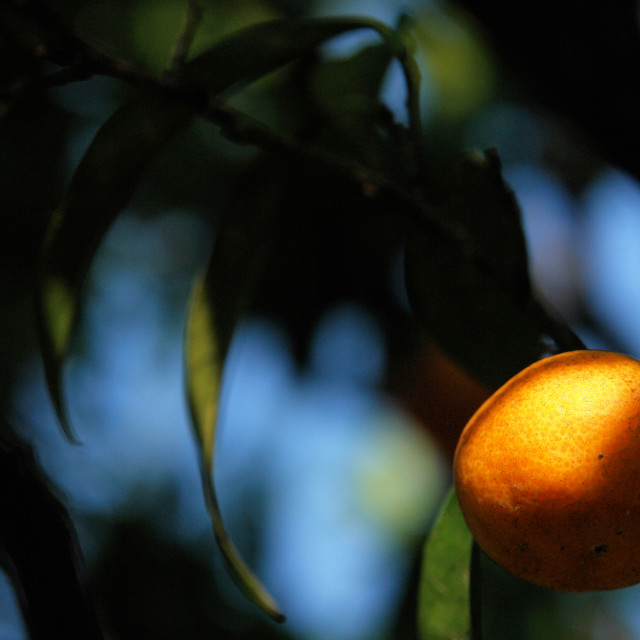 """""""Corsican clementine"""" stock image"""