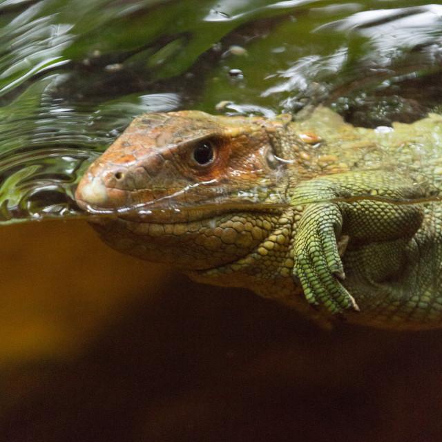 """""""Alligator iguana"""" stock image"""