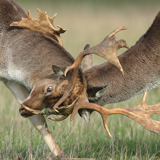"""Fallow deer locking horns"" stock image"