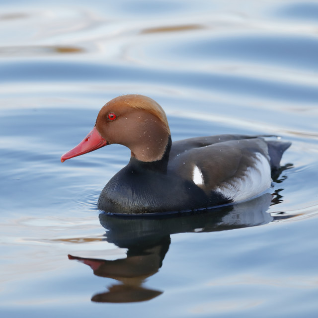 """The red-crested pochard"" stock image"