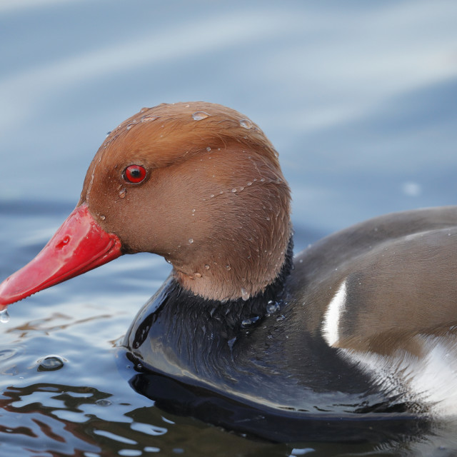 """The red-crested pochard up close"" stock image"