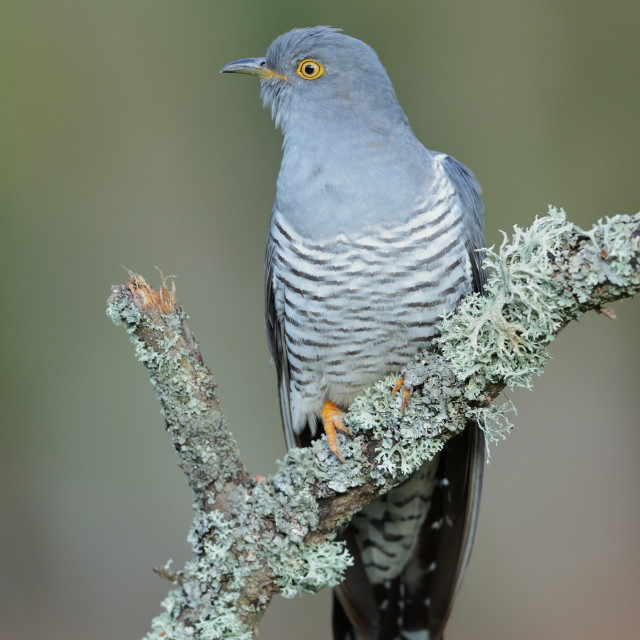 """A Common cuckoo perched"" stock image"