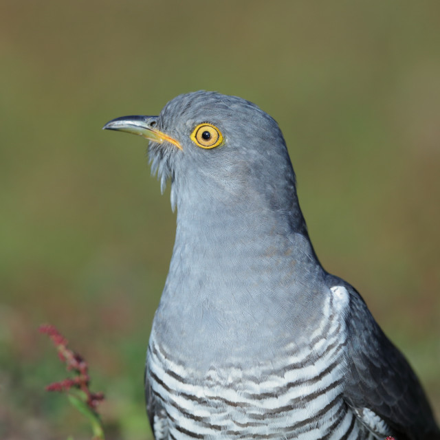 """A Common cuckoo on the ground"" stock image"