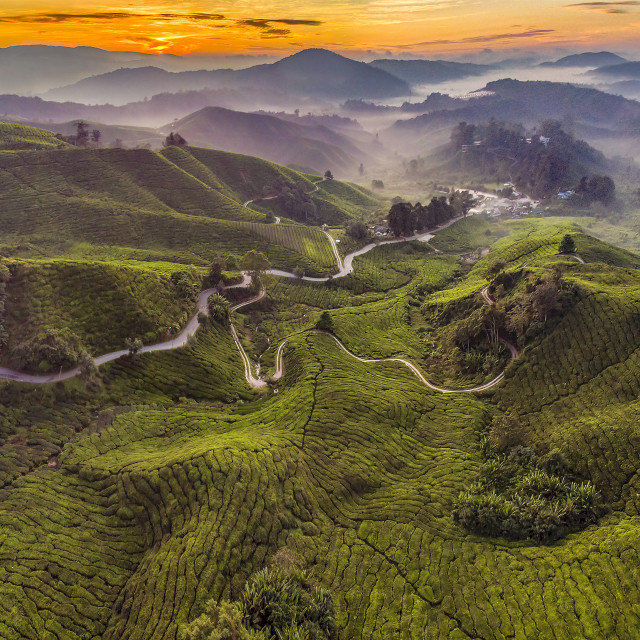 """Tea Plantation Sunrise"" stock image"