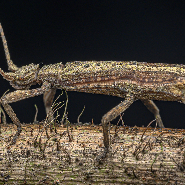 """""""Stick Insect"""" stock image"""