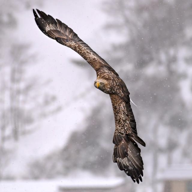 """""""White-Tailed Sea Eagle"""" stock image"""