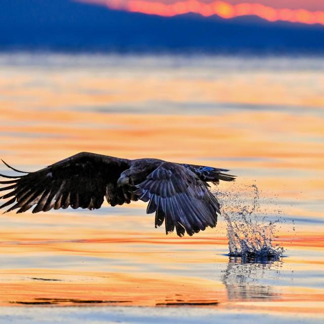 """""""White-Tailed Sea Eagle Sunrise 02"""" stock image"""