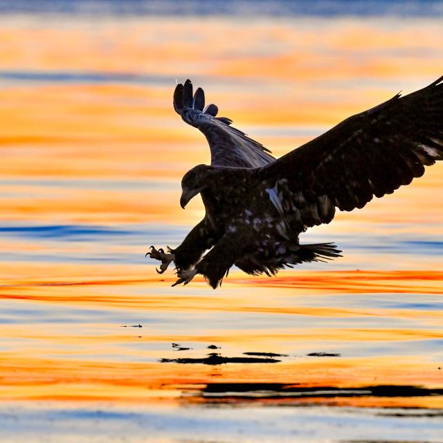"""""""White-Tailed Sea Eagle Sunrise 01"""" stock image"""