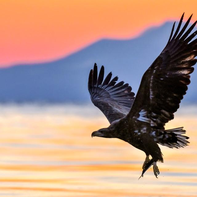 """""""White-Tailed Sea Eagle Sunrise 04"""" stock image"""