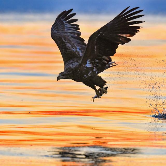 """""""White-Tailed Sea Eagle Sunrise 03"""" stock image"""