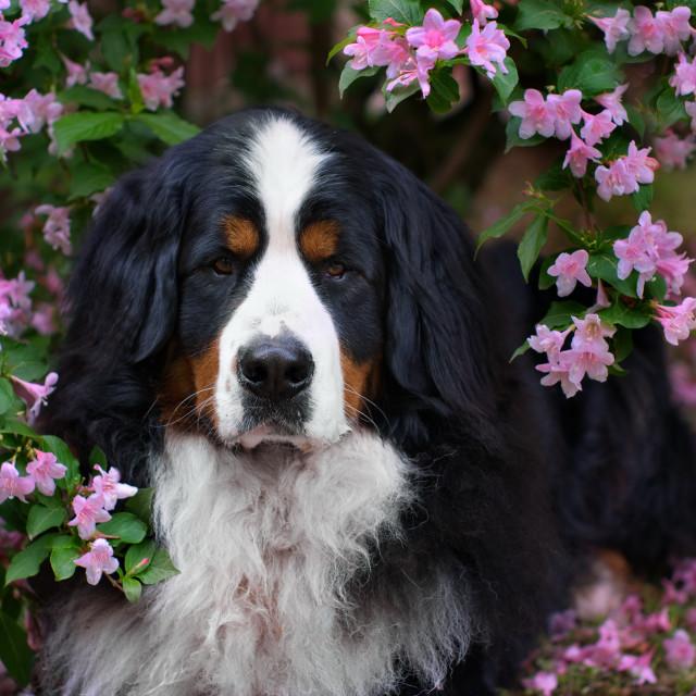 """Bernese Mountain Dog"" stock image"