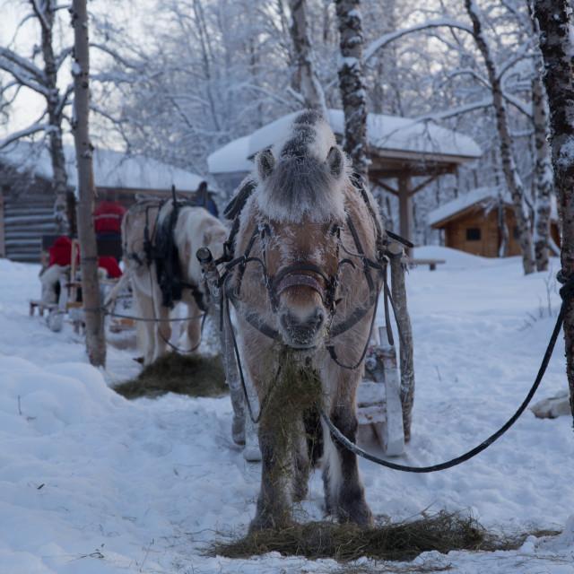 """Norwegian Fjord Horse"" stock image"