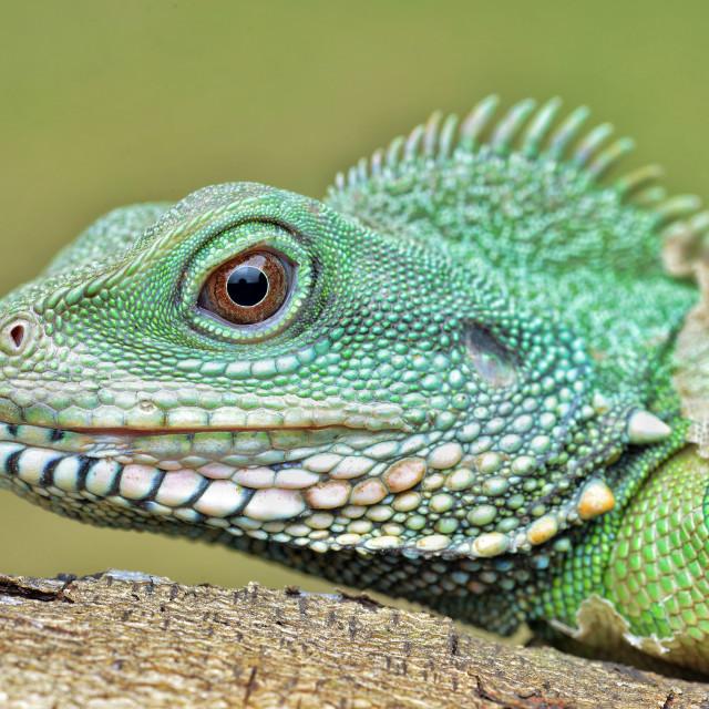 """Portrait of a Lizard"" stock image"